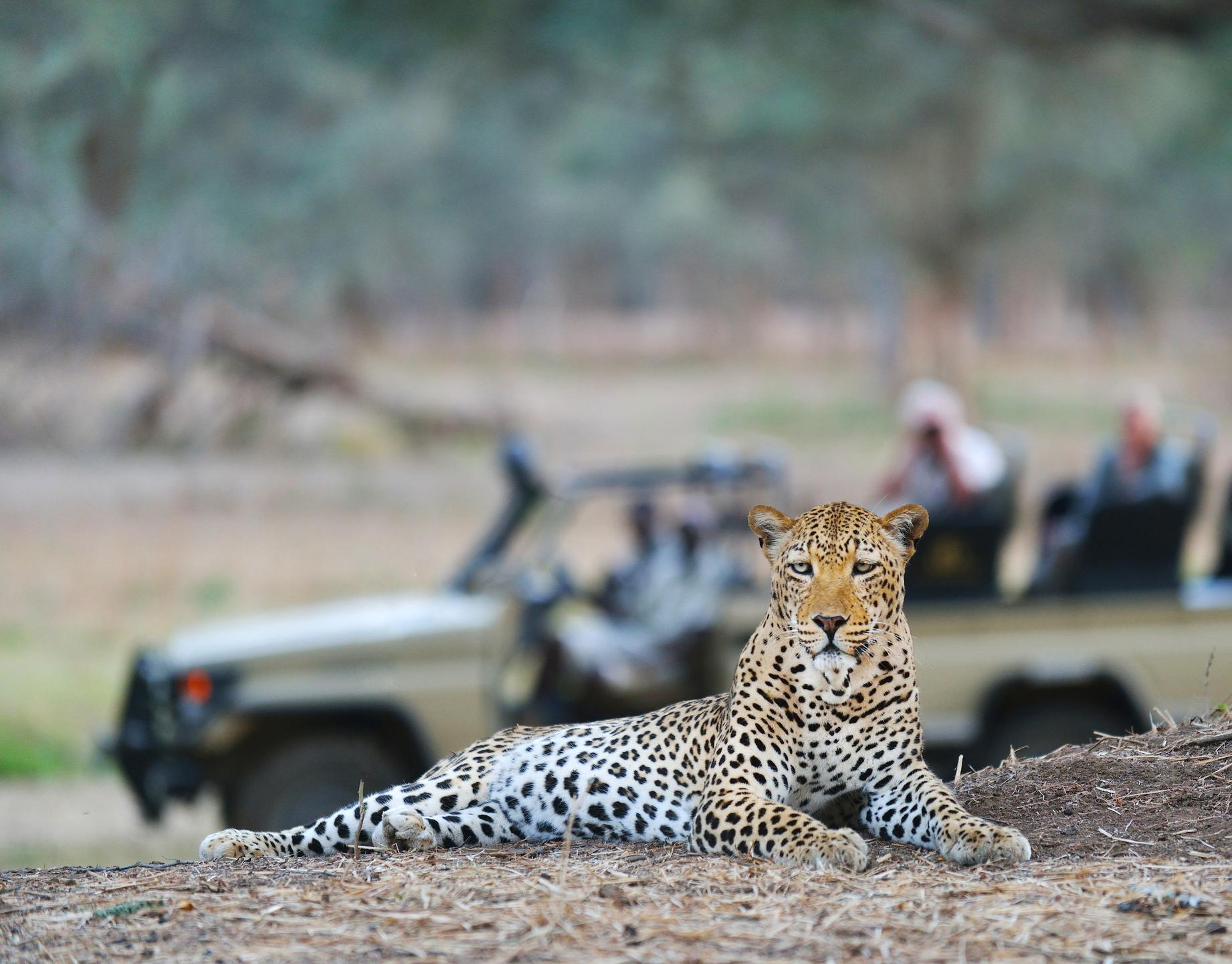 old_mondoro_leopard_face_on_vehicle1